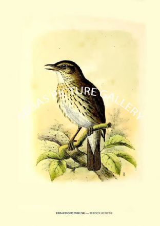 RED-WINGED THRUSH ---- TURDUS MUSICUS